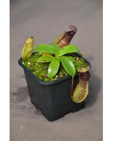 Nepenthes sibuyanensis x hamata