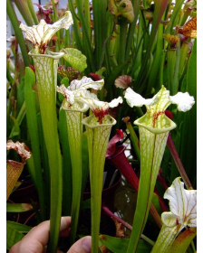 S.x Moorei -- Flava var. rugelii x leucophylla