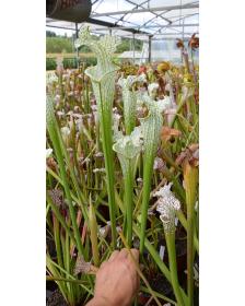 SL69 S. leucophylla -- Stocky white top,Citronelle,AL,(PW) L02 MK
