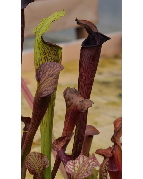 Sarracenia alata -- purple throat giant,very large pitchers, outside green, inside dark red
