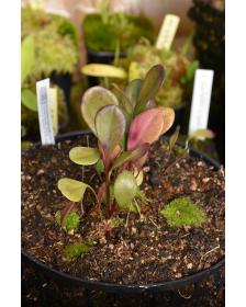 Utricularia humboldtii x quelchii