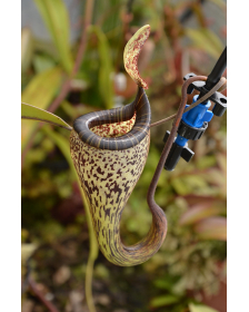 Nepenthes vogelii