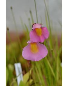 Utricularia 'Jitka' (Utricularia quelchii x Utricularia praetermissa)