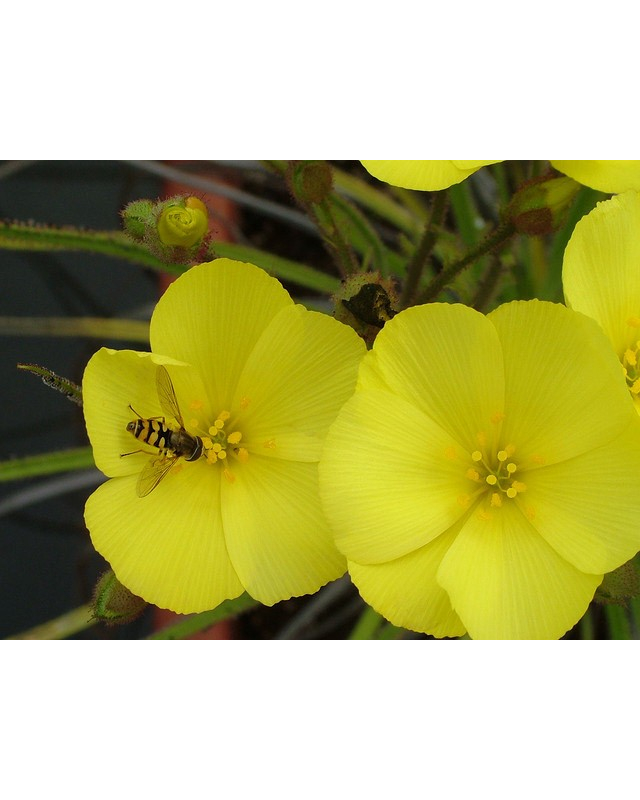 Seeds Drosophyllum