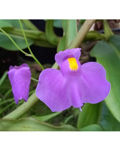 Utricularia longifolia var. forgetiana