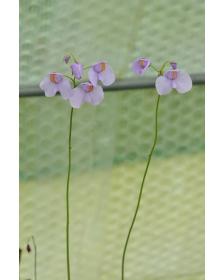 Utricularia reniformis 'Big sister'