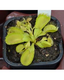 Dionaea 'Triton'