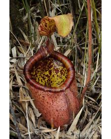 Népenthes palawanensis