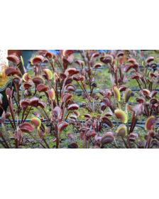 Dionaea 'akai ryu'