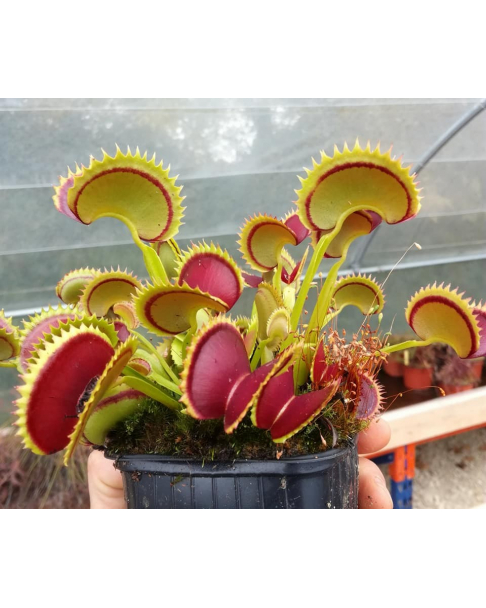 Dionaea 'Dracula'
