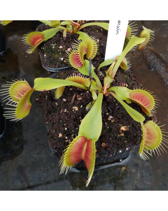 Dionaea 'Darwin'