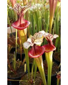 "S. (Leucophylla x Flava var. ornata) x 'Adrian Slack' clone ""A"""