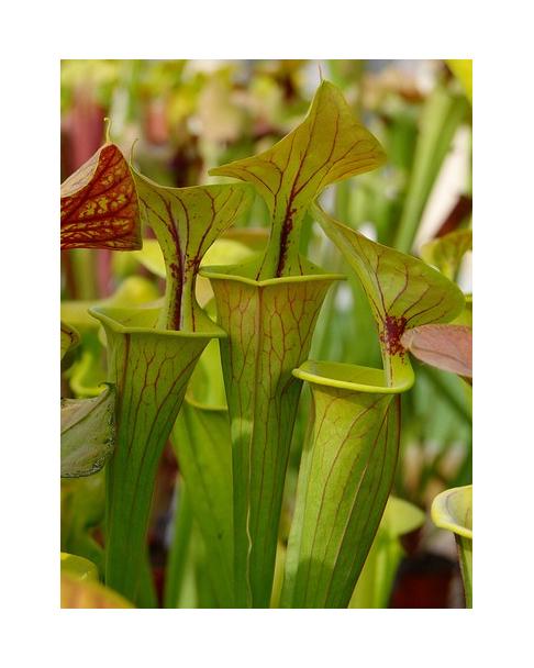 SX48 S.'Citron' x SFO01 S. flava var. ornata (Mutant Flower)