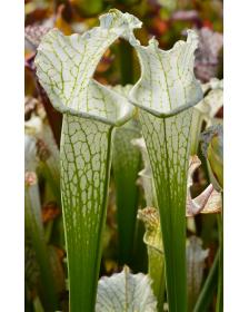 SL74 S. leucophylla -- Perdido, AL. Green & white top, W, (SM), (L45,MK)