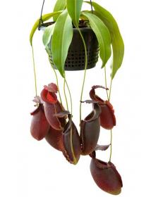 Népenthes spathulata x gymnamphora
