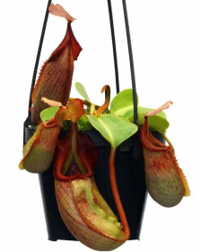Népenthes robcantleyi x veitchii