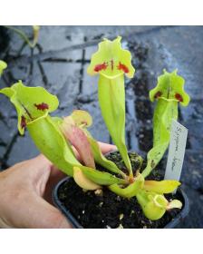S. purpurea ssp.purpurea -- 'Sorrow'