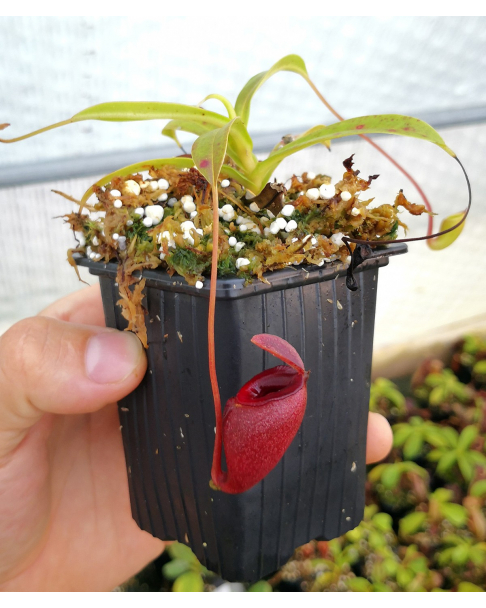 Nepenthes jacquelinae
