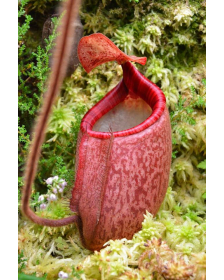 Népenthes peltata