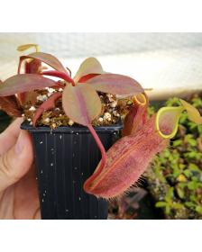 Népenthes spathulata x peltata
