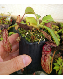 Népenthes burbidgeae x glandulifera