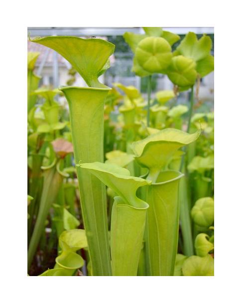 S. flava var. maxima -- maxima Green Swamp,NC,W, AF(F194,MK)