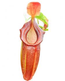 Népenthes spathulata x dubia
