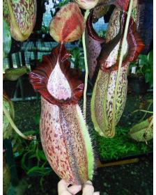 Népenthes spathulata x spectabilis
