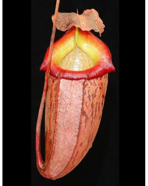 Népenthes talangensis x sibuyanensis
