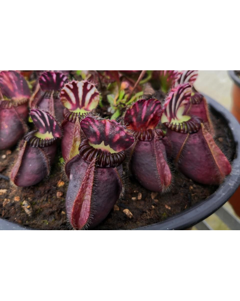 Cephalotus follicularis 'Big boy'