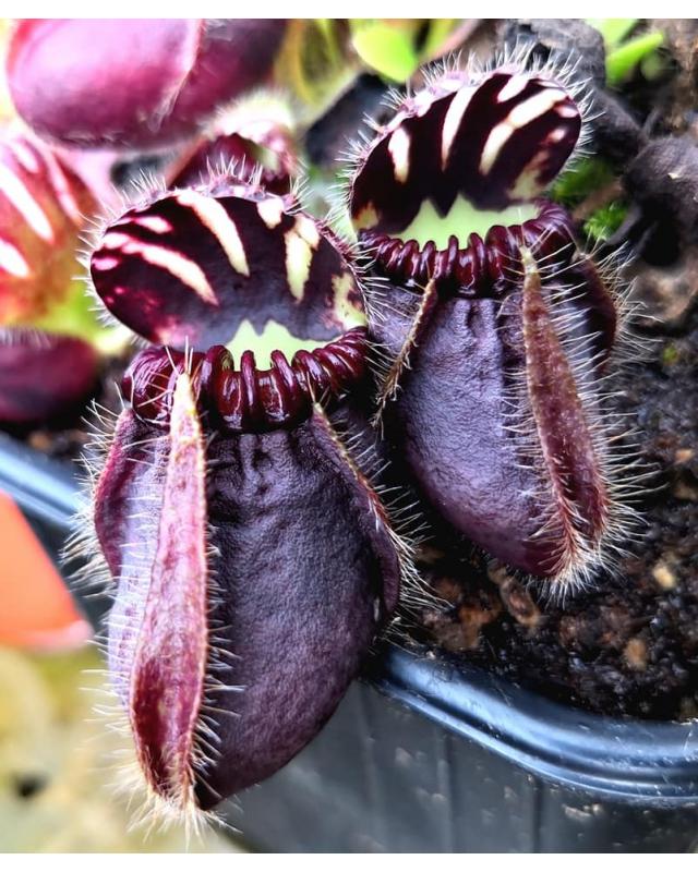 Cephalotus follicularis 'Dudley watts '