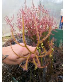 Drosera binata var. dichotoma f. pedata