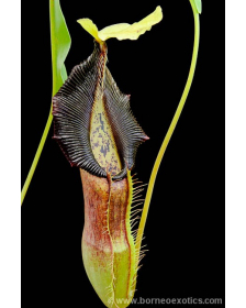 Népenthes Singalana