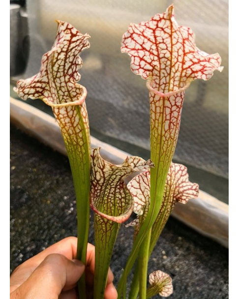 SX126 S. Daniel Rudd x SL74 S. leucophylla -- Perdido, AL. Green & white top, W, (SM), (L45,MK)