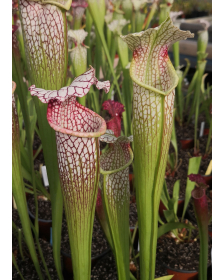 SL13 S. leucophylla -- large pink lipped,Apalachicola x SX102 S.x areolata giant CLB