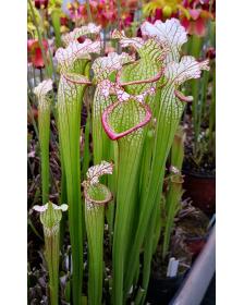 SL59 S. leucophylla -- Alba, klein 1998x SXM17 S.x Moorei -- Wilkerson's red