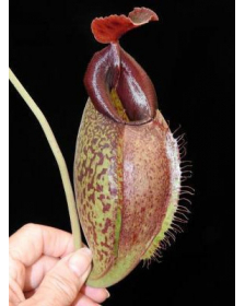Népenthes spathulata x aristolochioides