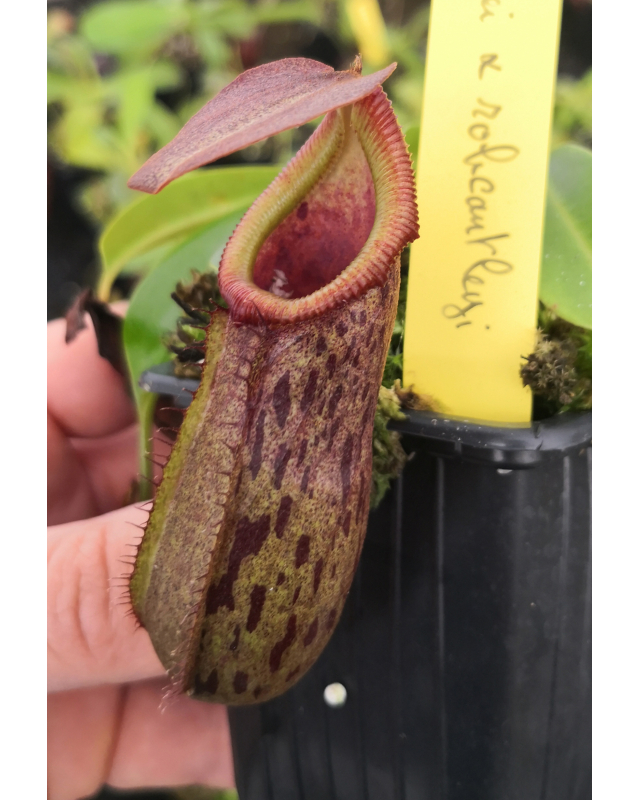 Népenthes burkei x robcantleyi