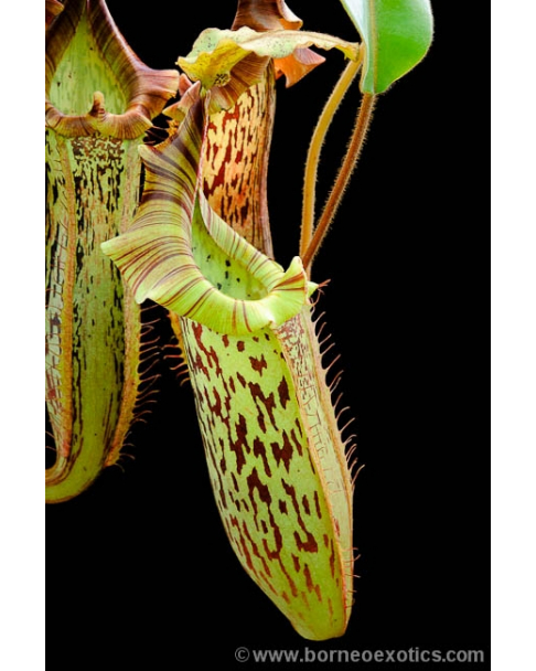 Népenthes veitchii x platychila