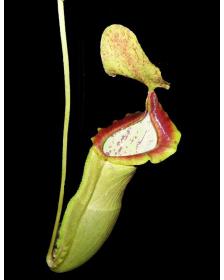 Népenthes spathulata x campanulata