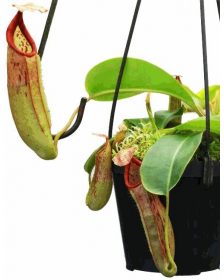 Népenthes glandulifera x veitchii