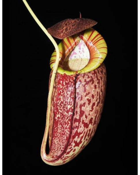 Népenthes spectabilis x tenuis