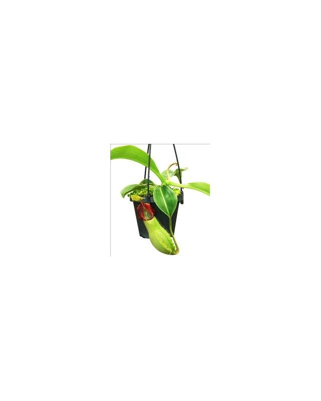 Népenthes spathulata x veitchii