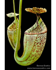 Népenthes burbidgeae
