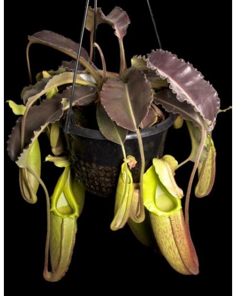 Népenthes maxima weavy leaf