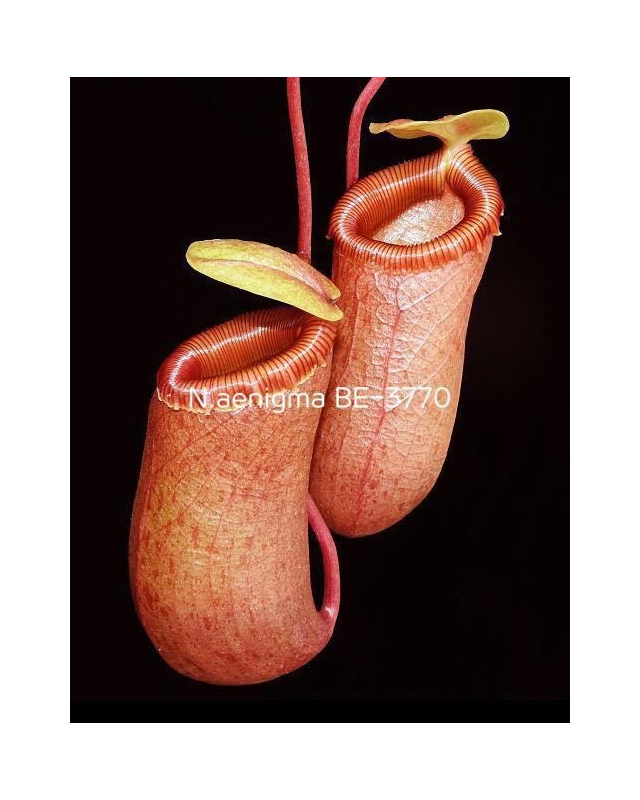 Népenthes aenigma