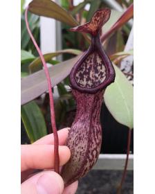 Nepenthes (ventricosa x sibuyanensis)-squat x hamiguitanensis