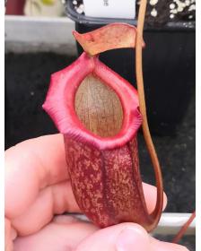 Nepenthes (ventricosa x mapuluensis) x jacquelineae
