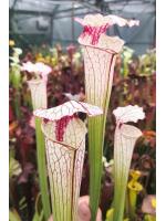 Sarracenia 'lamsatyricon'