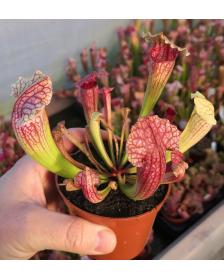 Sarracenia Fiona